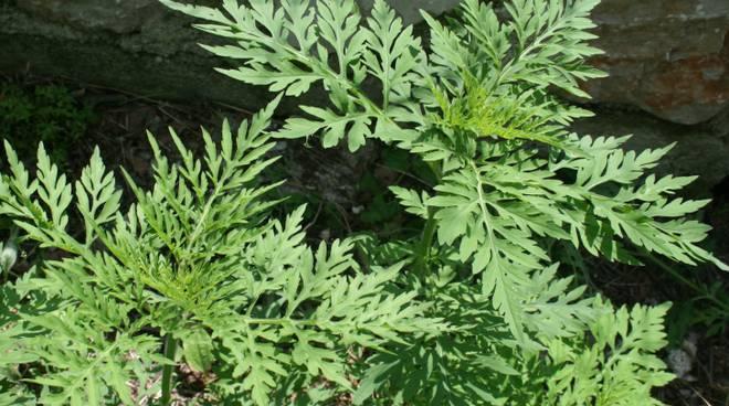pianta-di-ambrosia