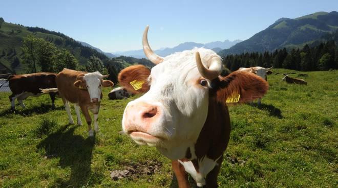mucca mucche generica