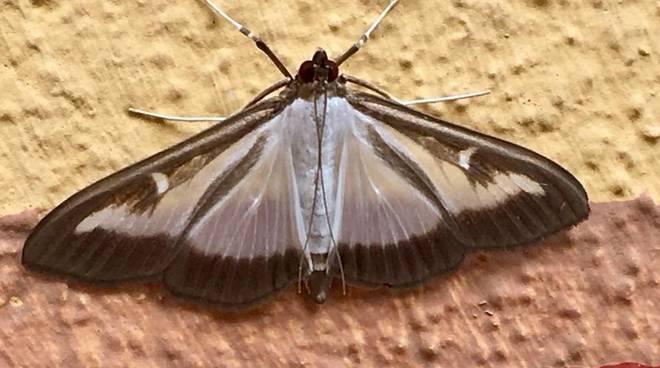 L'alta valle Roya presa sotto assedio dalle farfalle