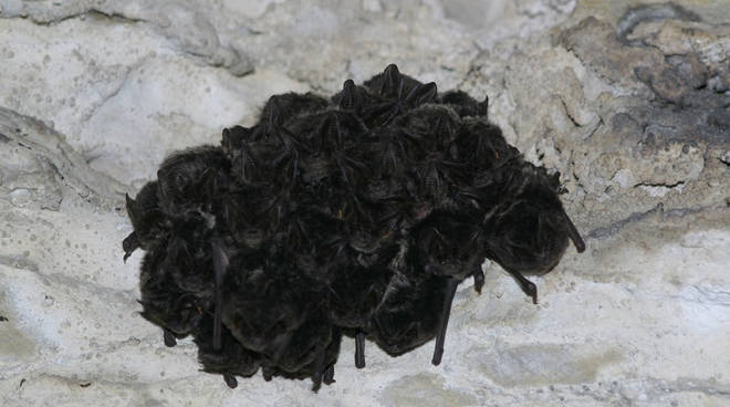 pipistrelli generica