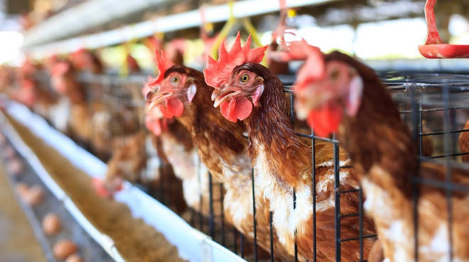 galline animal equity