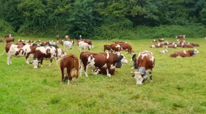 mucca mucche