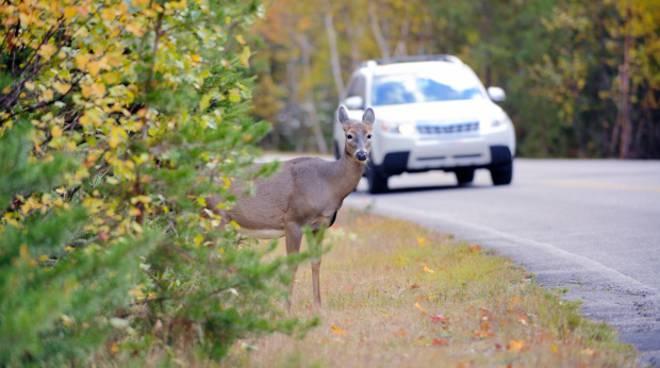 animali selvatici strada