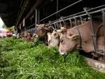 mucche bovini