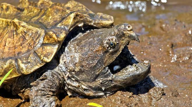 tartaruga alligatore
