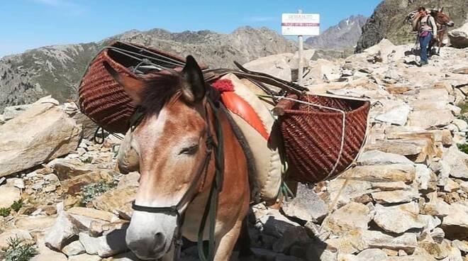 I muli durante un trasporto ai rifugi | L. Ellena.