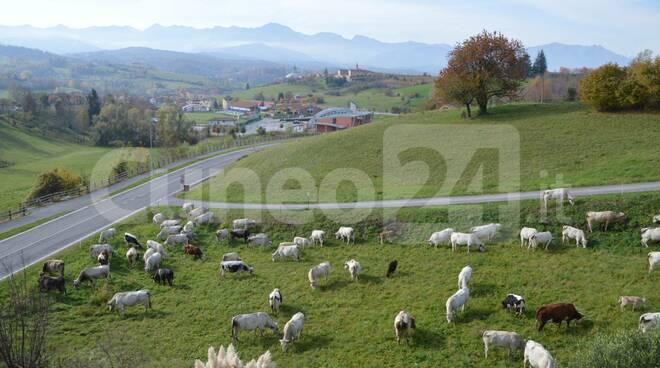 Mucche a Vicoforte