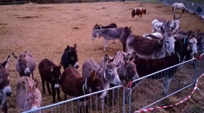 Étroubles pony asini