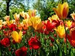 tulipani pralormo pixabay.com
