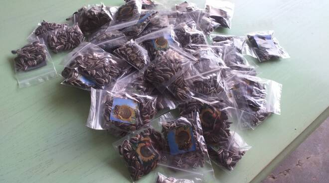 semi di girasole