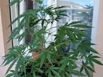 Cannabis Blengino