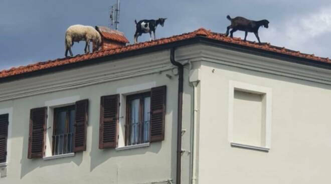 pecore capre tetto beinette